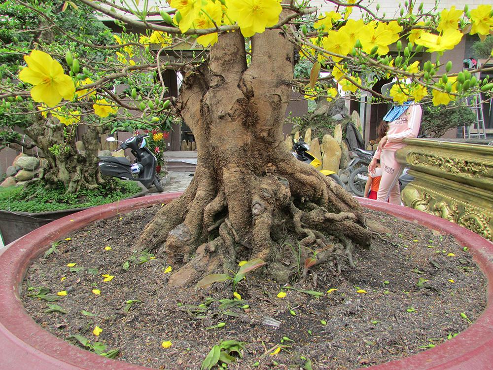Thấy lá mai đã già, nhưng nụ mai còn hơi nhỏ, có thể sẽ nở trễ hơn Tết, nên tuốt lá sớm cỡ từ ngày 10 - 12 tháng Chạp, nghỉ tưới nước một ngày cho khô nhựa