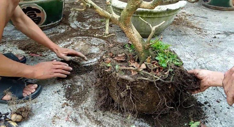 Cách cứu và chăm sóc cây mai bị suy